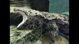 Largest Amphibian in the World - Giant Salamander