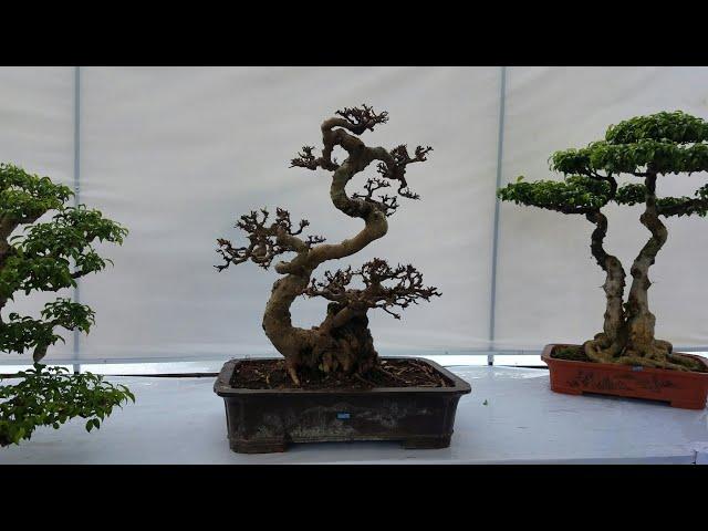 SH.1641.??c ?áo dàn bonsai c?a H?i SVC Hà Nam t?i tri?n lãm SVC HNam29/8/2018