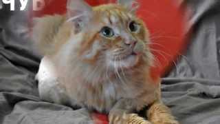 Рыжий кот   Чубайс