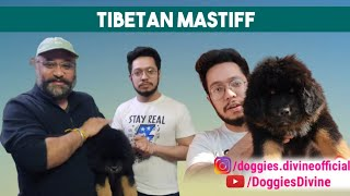 Tibetan Mastiff Excellent Quality Puppy Part 3 going to New Home with Breed information