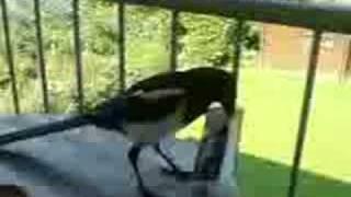 Die diebische Elster - The thieving Magpie