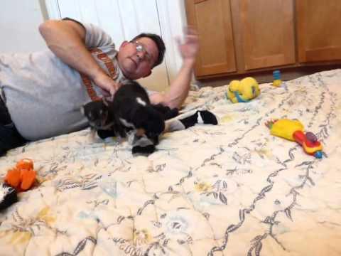 Black and Tan Chihuahua Puppies!   Oregon ~ Bonnie Pups
