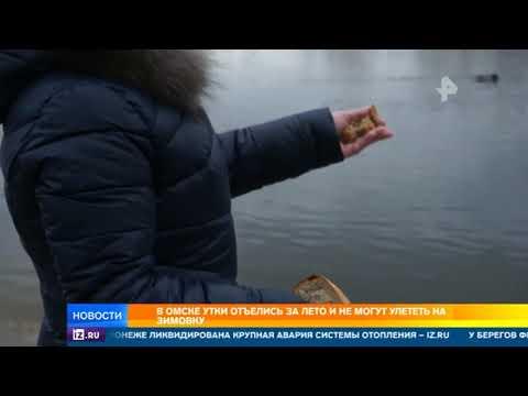 В Омске утки отъелись за лето и не могут улететь на зимовку