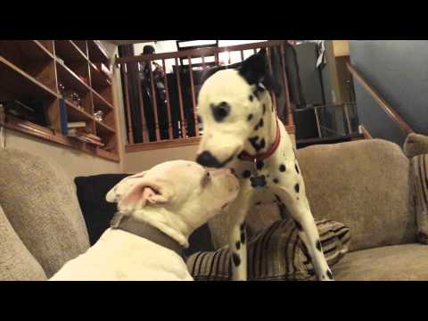 Pit Bull and Dalmatian fight