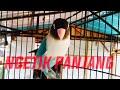 Lovebird Fighter Ngetik Panjang Cocok Untuk Memancing Lovebird Bahan  Mp3 - Mp4 Download