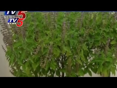 Importance of the Medicinal and India's Sacred Plant Tulsi | TV5 News