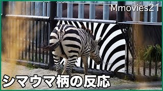 DJ The Grant's Zebra,male, 7 years old. Zebra is wary of hippopotam...