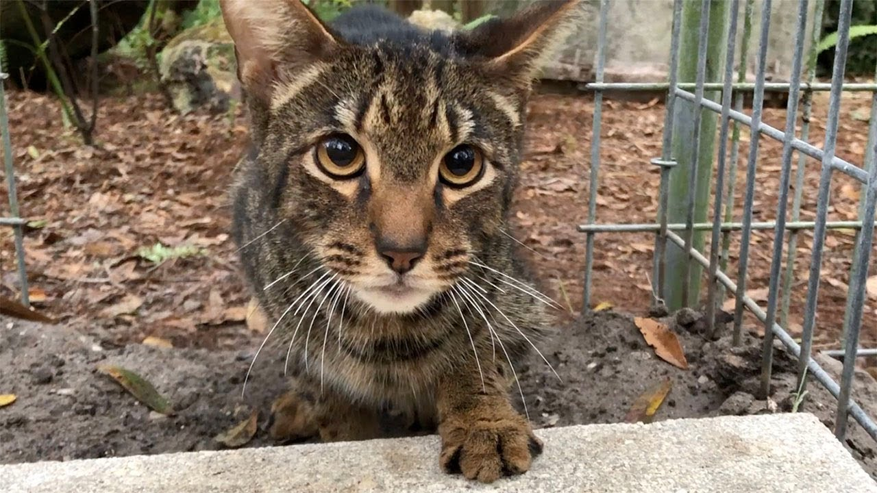 Another Unwanted Savannah Cat Gets A Forever Home