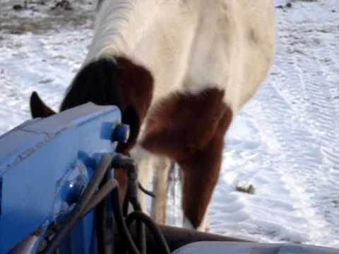 yuma the young stallion biting the tractor