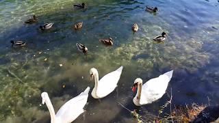 ДЕРЕВНЯ во ФРАНЦИИ. Лебеди  Кормим лебедей