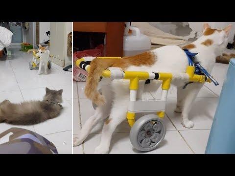 Cat Gets Around With Wheelchair Stroller