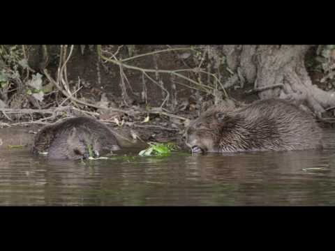 Cornwall Beaver Project