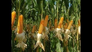 Senate Committee briefs the country of maize scandal probe. SUBSCRI...