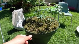 Trồng cây việt quất , hái trái vietj quất ăn tại cây mới trồng