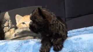 Bolkshof Cairn Terrier 2 Reutjes En Een Teefje