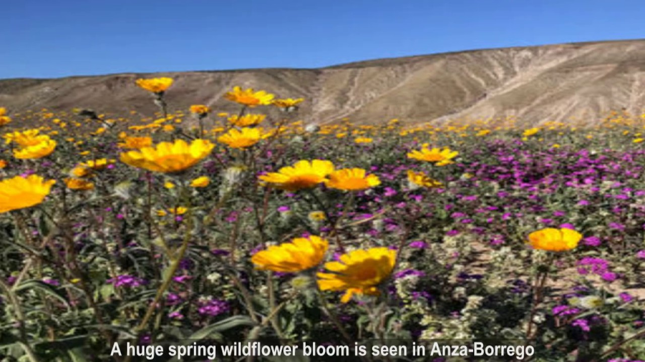 Diamond valley lake in california super bloom spectacular spring diamond valley lake in california super bloom spectacular spring flowers of 2017 pictures cb mightylinksfo