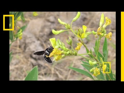 National Geographic Live! - People, Plants and Pollinators
