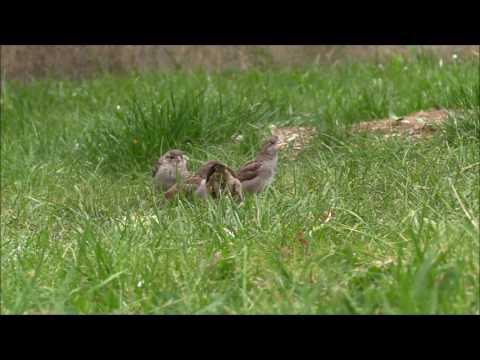 notre belle Nature - Maman moineau nourrit ses petits