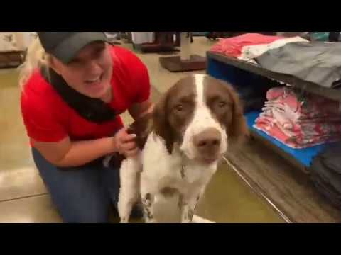 10 Month Old Brittany Springer | Best Dog Training | Off Leash K9 | Board and Train | Oklahoma