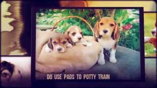 Jack Russell Puppy Training Tips | Tips For House Training A Puppy | Puppy House Training Tips