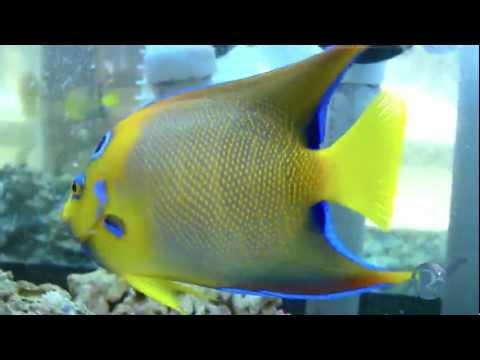 Queen Angelfish Www.ReadyAquatics.com