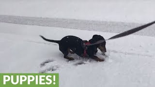 Dachshund ecstatic for first ever snow experience