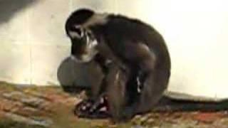 maymun saxo