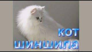 Кот шиншила - Персидская шиншилла