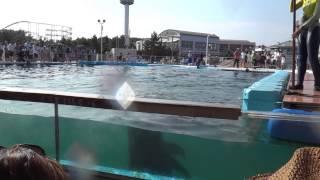 コビレゴンドウクジラのシズカちゃんの水攻撃 thumbnail