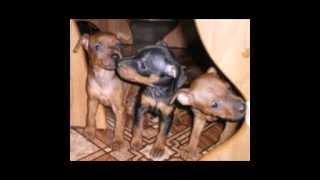 порода собак карликовий пинчер