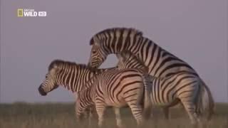 Дикая Бесплодная Пустиня  Калахари !!! Как Выживают Животные! Фильм Nat Geo Wild