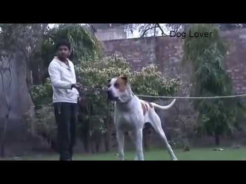Massive and Agressive Bully Kutta || bull dog barking
