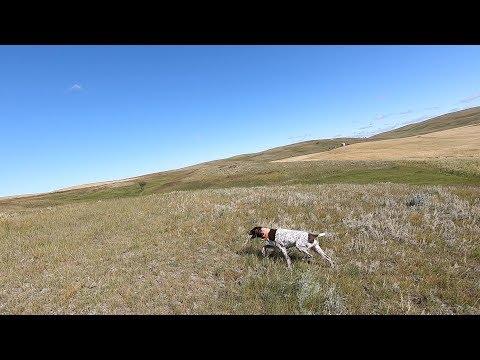 2019 Montana Prairie Bird Hunt With Bird Dogs Afield Part 1