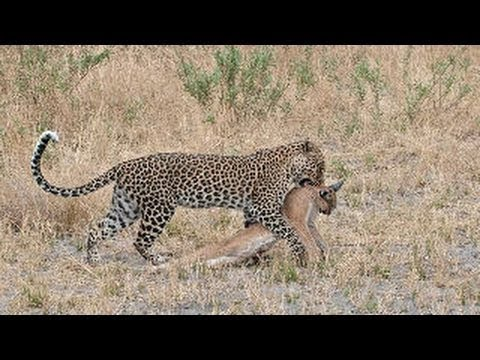 Download LEOPARD vs CARACAL CAT ►► Real Fight - Eagle Snake Grizzly Bear Wild Wolf Lion Crocodile Mongoose