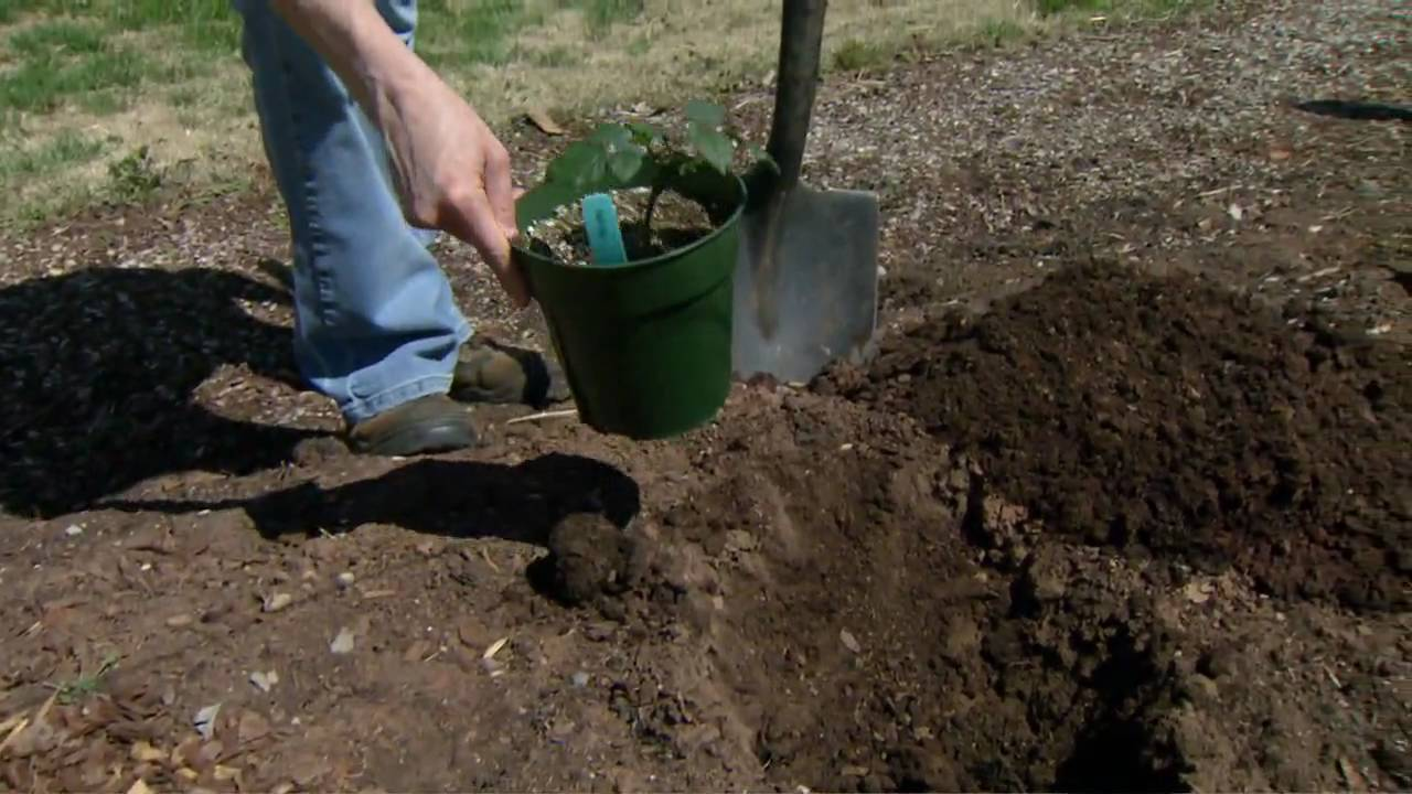 Planting Blackberries - YouTube