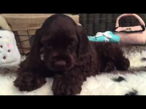 GORGEOUS CHOCOLATE COCKER SPANIEL BABY!