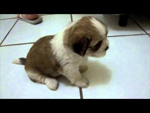 Filhote Lhasa Apso Lhasa Apso Puppy YouTube