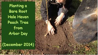 Planting A Bare Root Hale Haven Peach Tree From Arbor Day (december 2014) - Episode 1