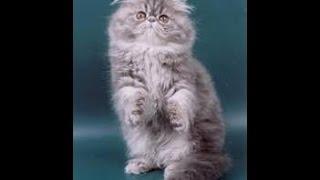 Купание персидского кота