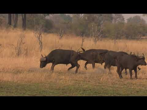 Buffalo Hunting In The Caprivi