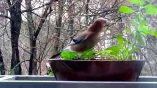 Наглый птиц (сойка)