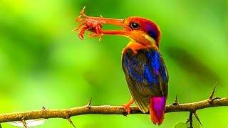পৃথিবীর সবথেকে সুন্দর মাছরাঙা পাখি | Oriental Kingfisher Most Stunningly Beautiful Bird in The World