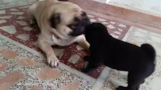 pug puppies playing with mom