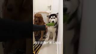 Funny chines dog eating cucumber and og food moment