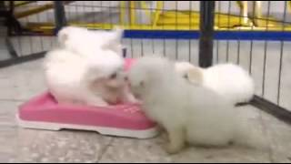 Maltese Puppy For Sale - 2 Months, Maltese 4 Baby From Kla..