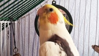 Говорящий попугай корелла говорит - Кеша хочет пиво