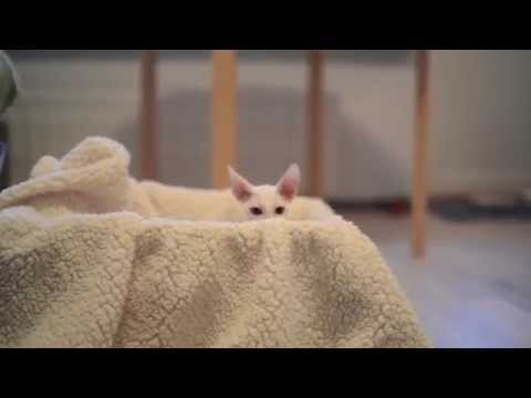 Cornish Rex play