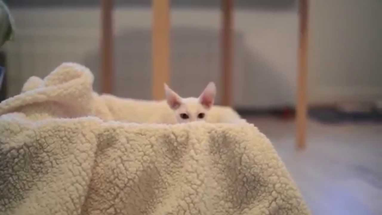 Cornish Rex - Your Complete Guide To A Curly Coated Cat!