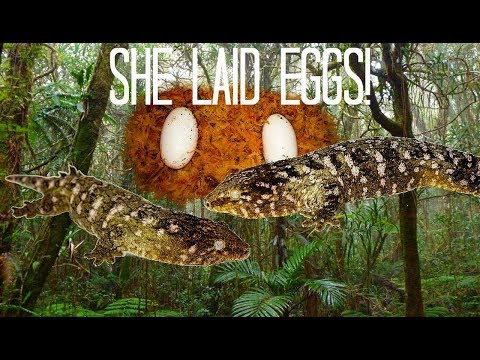 My Giant Gecko (Rhacodactylus leachianus) laid eggs!