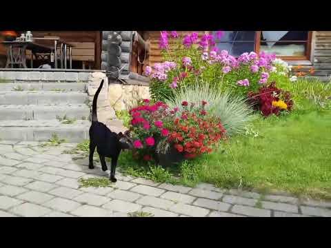 Meori oriental cats